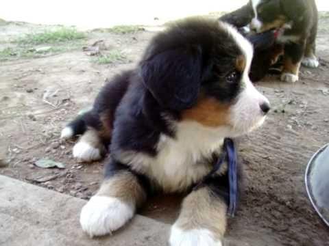 Bernese Mountain Dog Puppies 7 Wks I Littermov Awe3
