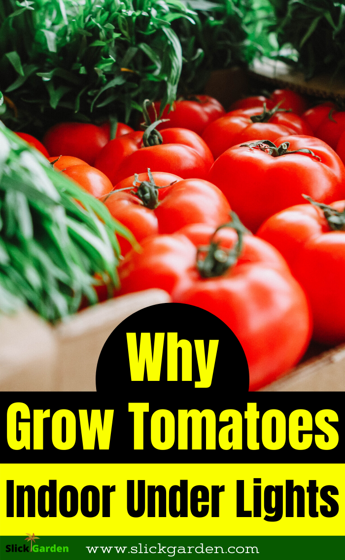 Why I Grow Beefsteak Tomatoes Indoor Under Lights Why I Grow