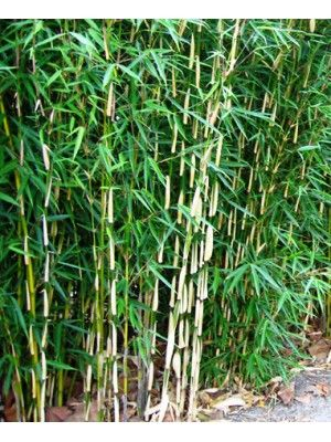 bambou fargesia robusta pingwu jardin autour de l 39 arbre pinterest. Black Bedroom Furniture Sets. Home Design Ideas