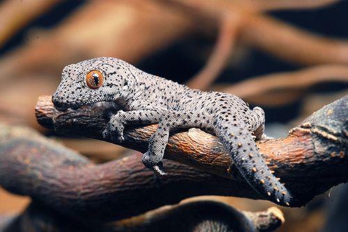 Male Strophurus Williamsi 両生類 アニマル 爬虫類