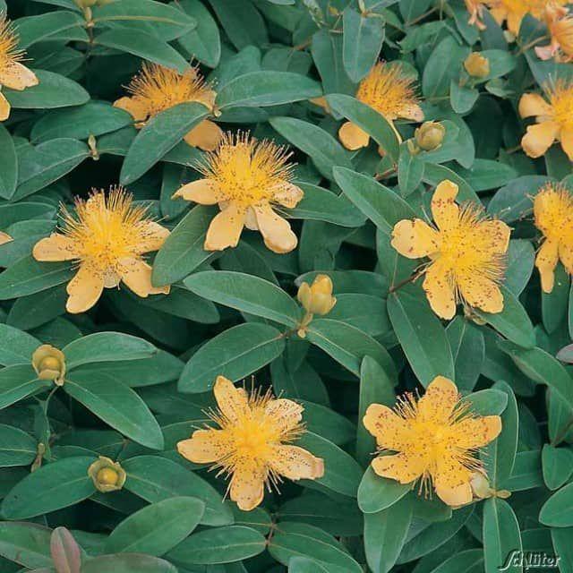 Das Immergrüne Johanniskraut ist ein besonders robuster Bodendecker - gartenpflanzen winterhart immergrun