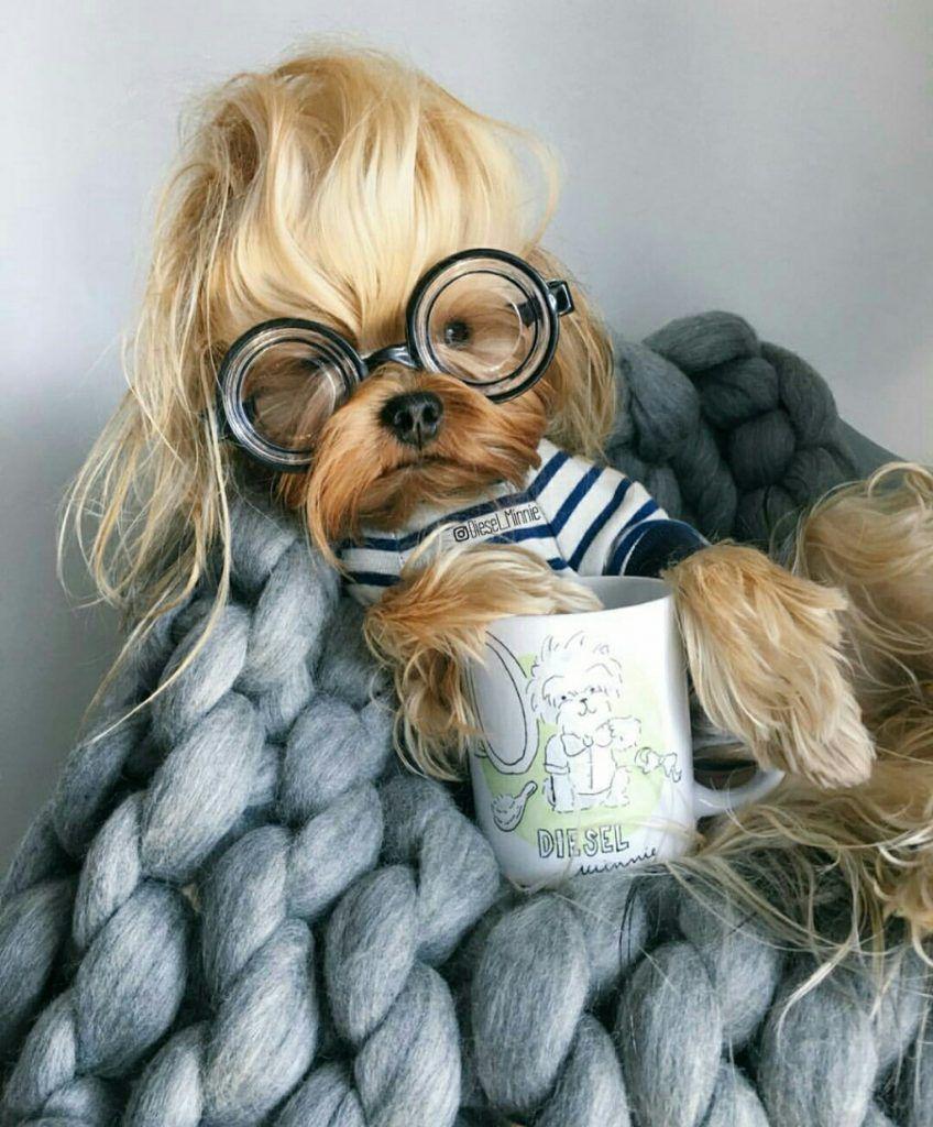 Meet Diesel Top 10 Facts Instagram Supermodel With Fabulous Blonde Hair Yorkshire Terrier Yorkshire Terrier Dog Yorkshire Dog