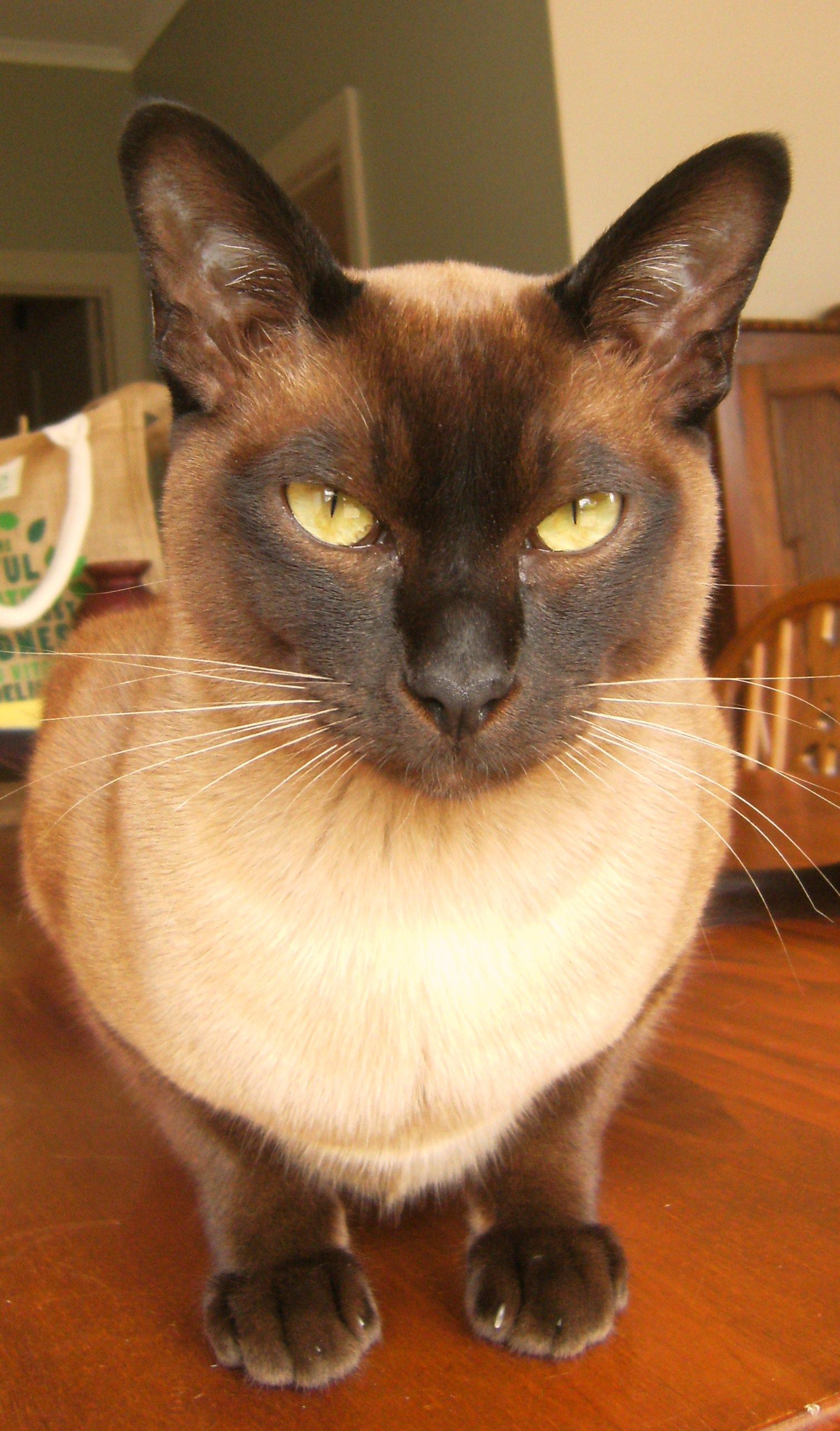 Khan My Natural Mink Tonkinese Boy Tonkinese Cat Cat Lover