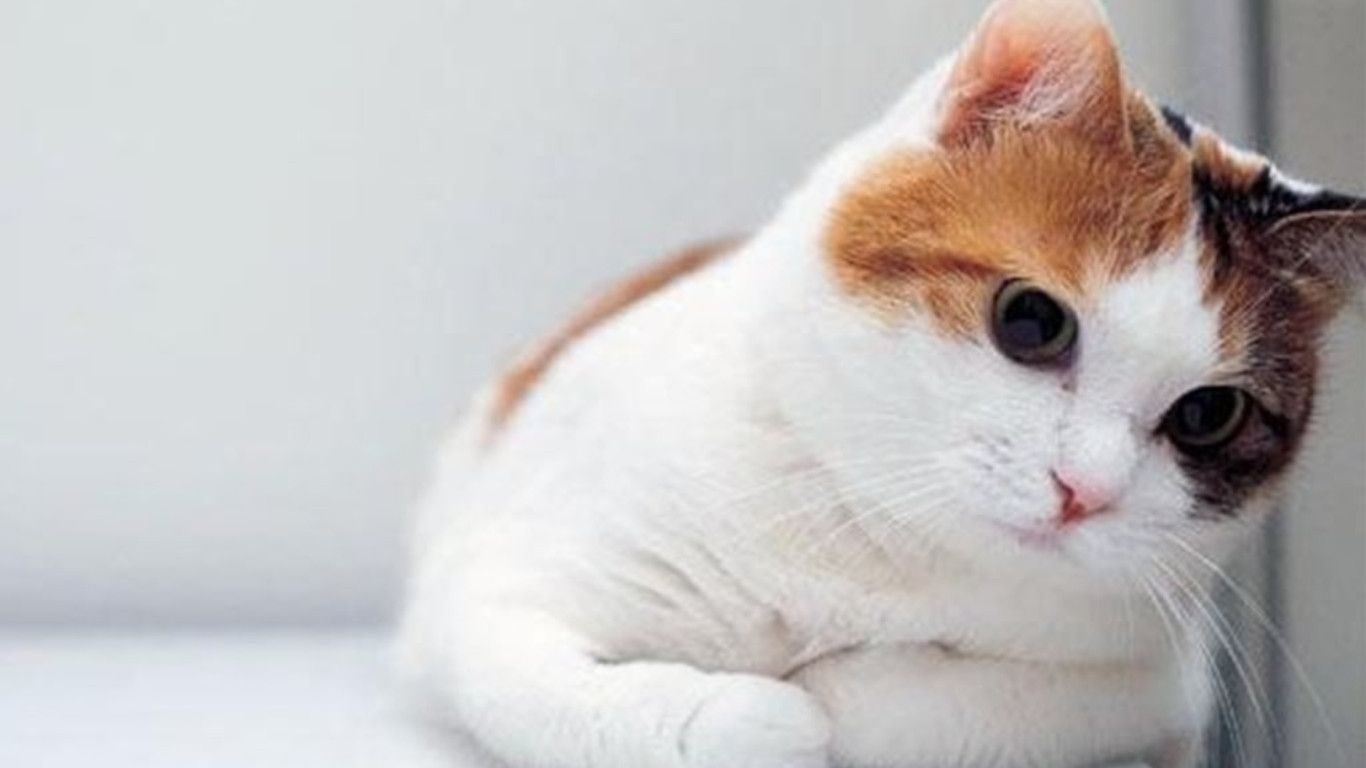 White Cat Wallpapers Wallpaper