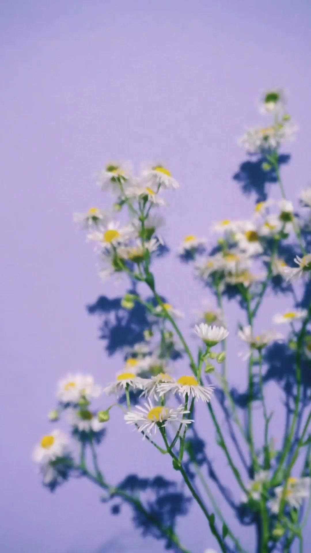 Swaying Daisies Against Purple Background