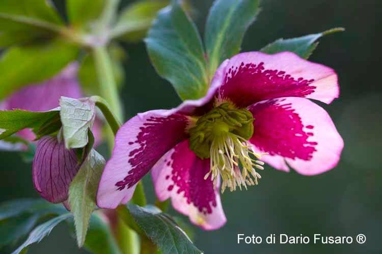 Helleborus orientalis Lam. 'Guttatus Pink'