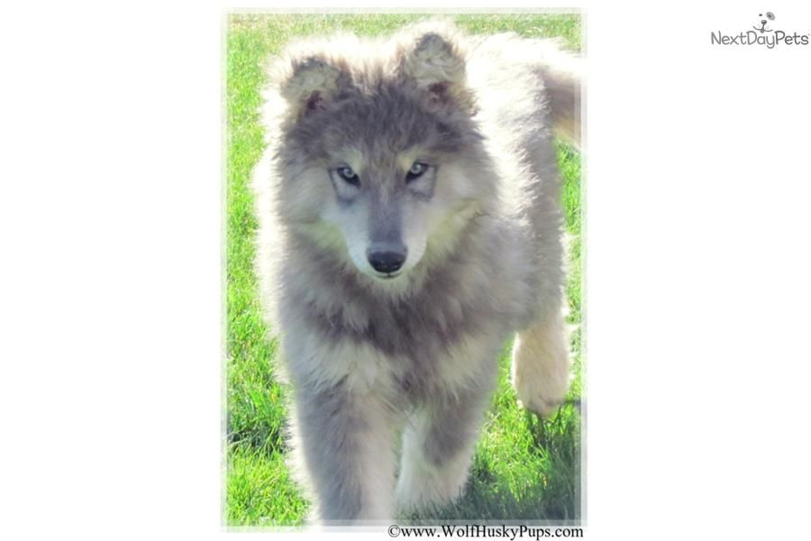 Meet Blue Coat A Cute Wolf Hybrid Puppy For Sale For 700 Rare