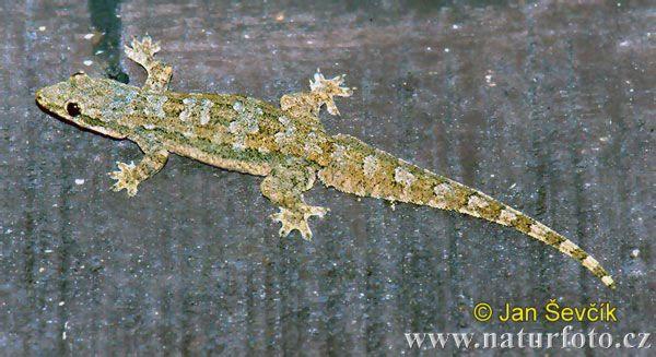 Flat Tailed House Gecko Gecko Lizard Lizard Image