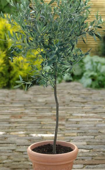 hochst mmchen selber ziehen so gelingt 39 s pinterest pflanzen z chten und balkon. Black Bedroom Furniture Sets. Home Design Ideas
