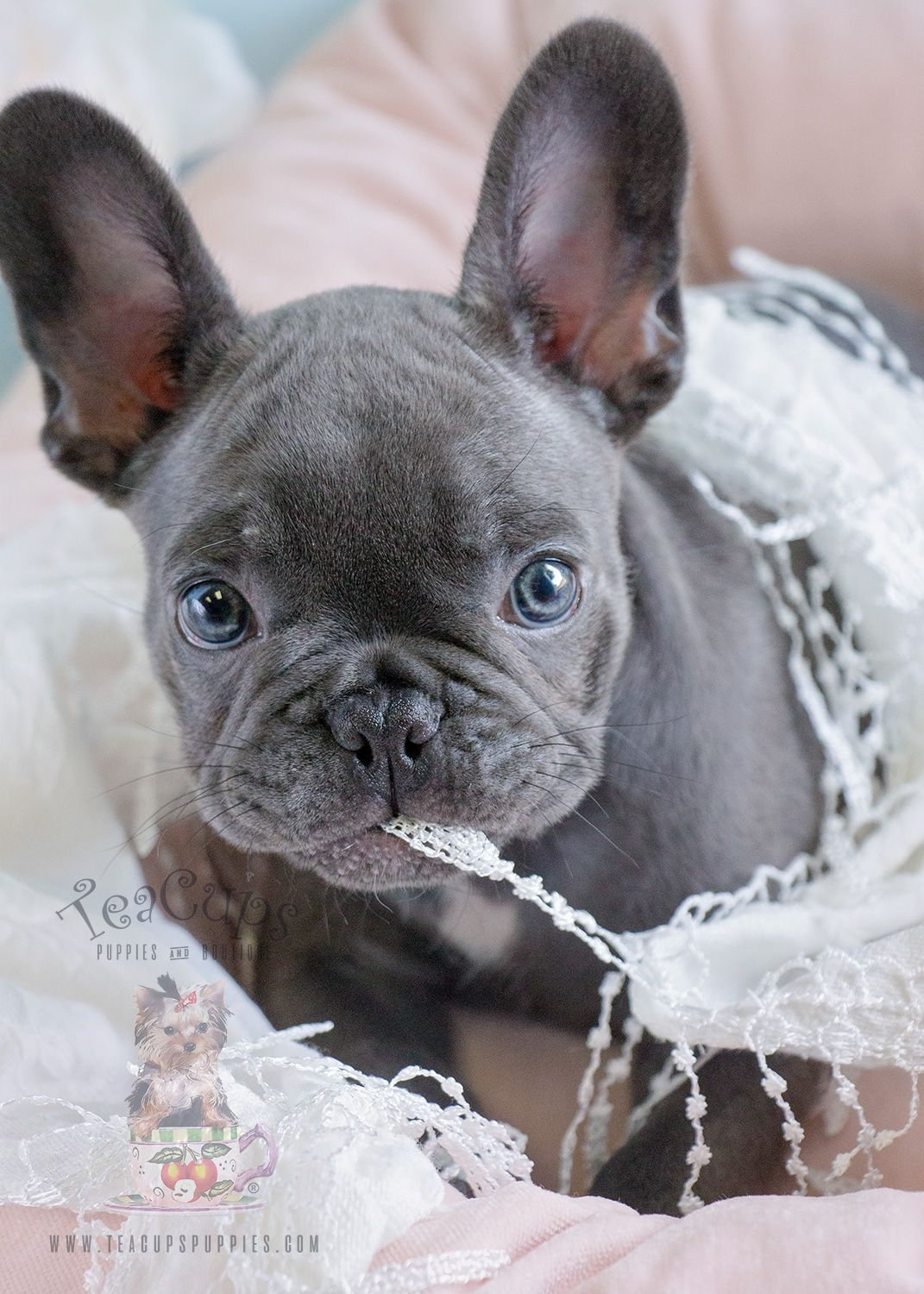 Blue French Bulldog Puppy For Sale 182 Bulldog Puppies Blue French Bulldog Puppies French Bulldog Puppies