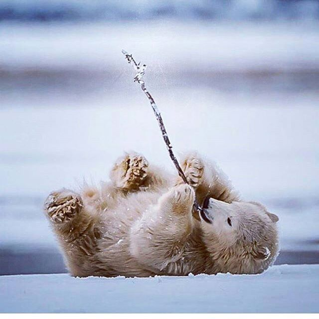 Aww. We love playtime.  Right in the feels.  Tag and share with your friends!  Photography by Mark Girard.  #playtime #animals #cute #cuteanimals #feels #adorable #bestoftheday #beautiful #cuteness #greatshot #awesome #polarbear #babybear #fun #games #photography #photos #igersoftheday #igonthego #instago #love #happy #happiness #share #play #pic #pics