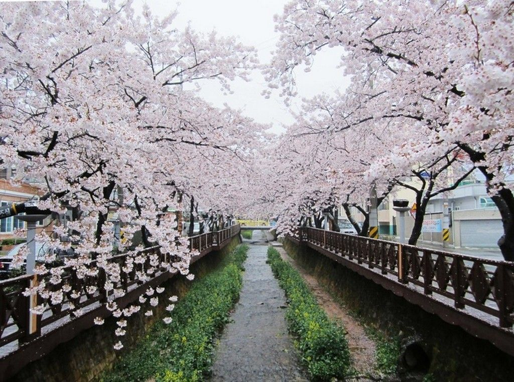 Top 5 Cherry Blossom Festivals In South Korea In 2017 Cherry Blossom Festival Cherry Blossom Cherry Blossom Japan