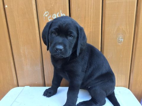 Litter Of 8 Labrador Retriever Puppies For Sale In Somerset Pa