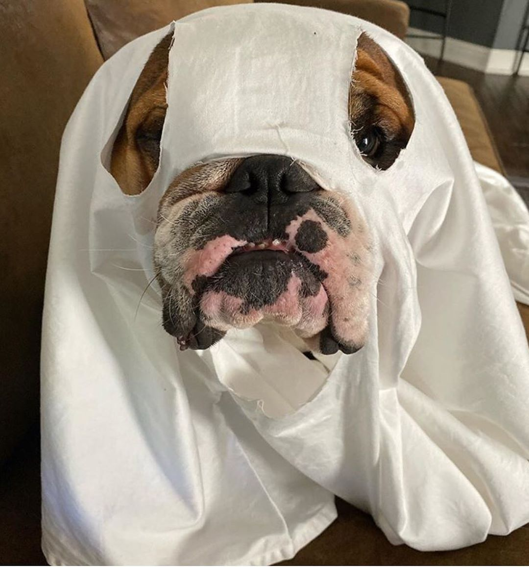 Bulldog Pics On Instagram Happy Bulloween