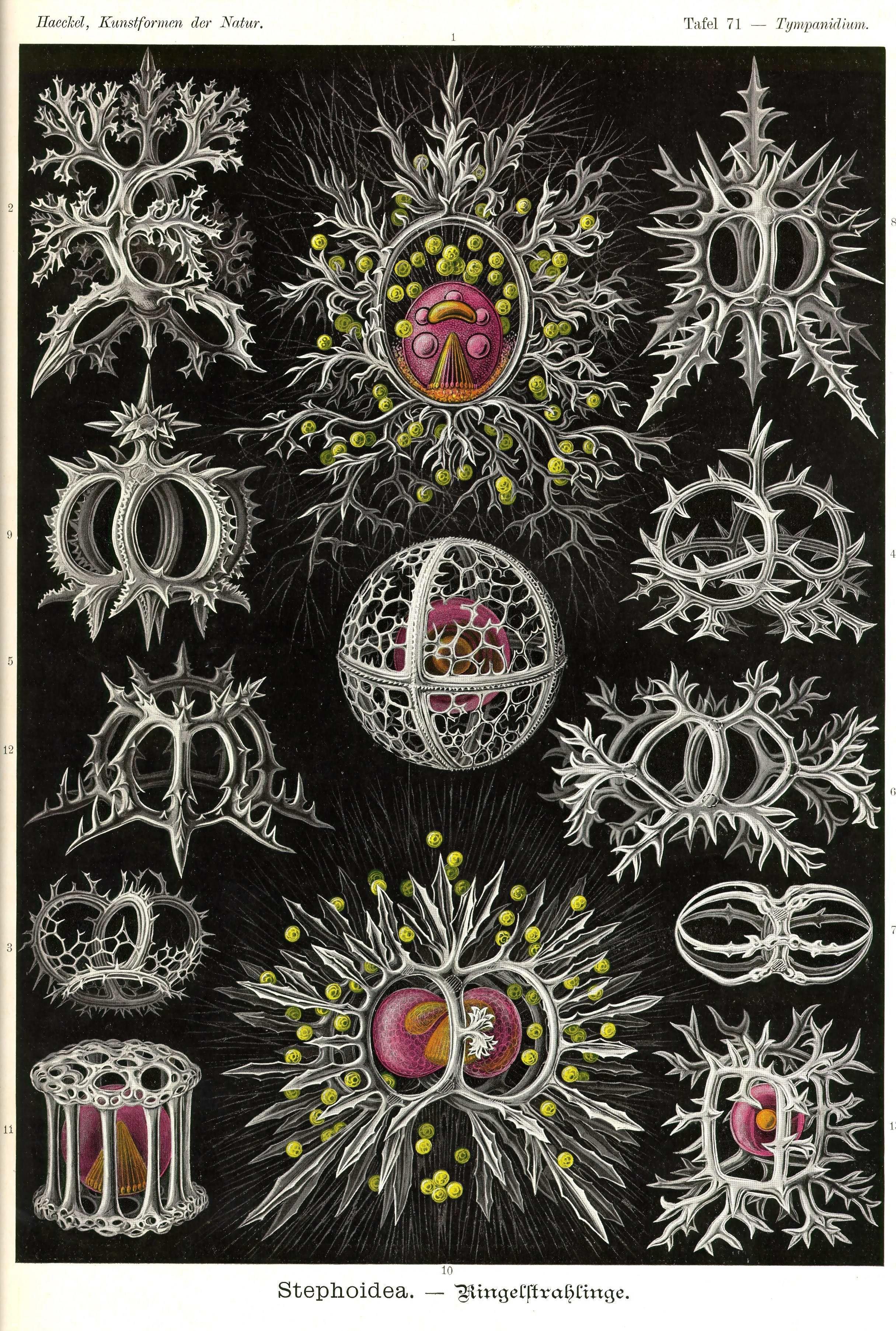 Kunstformen der Natur Tafel 71 - Tympanidium