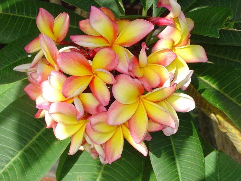 Aussie Confetti Plumeria Flower Pots Flower Pot Design Plumeria