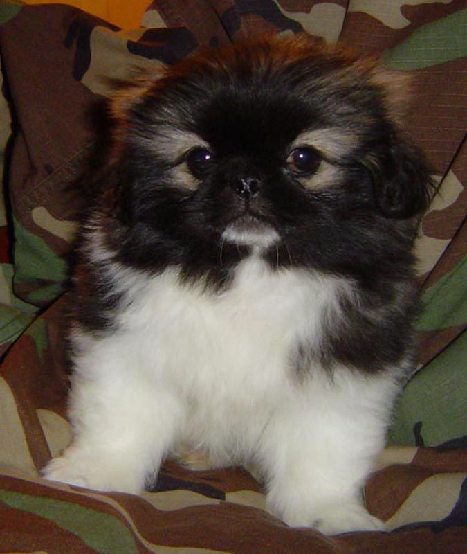 pekingese dogs | IVAN - Gone to live in Pensacola, Fl | Sneak Pekes