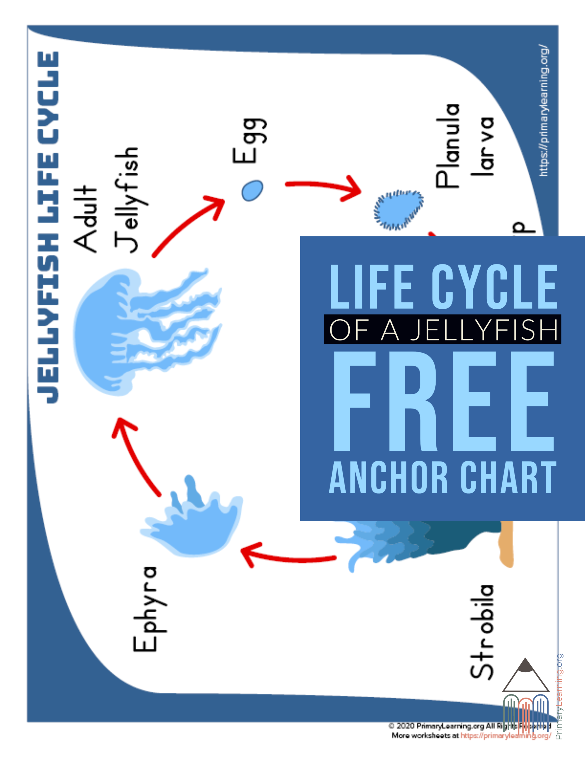 Jellyfish Life Cycle Anchor Chart