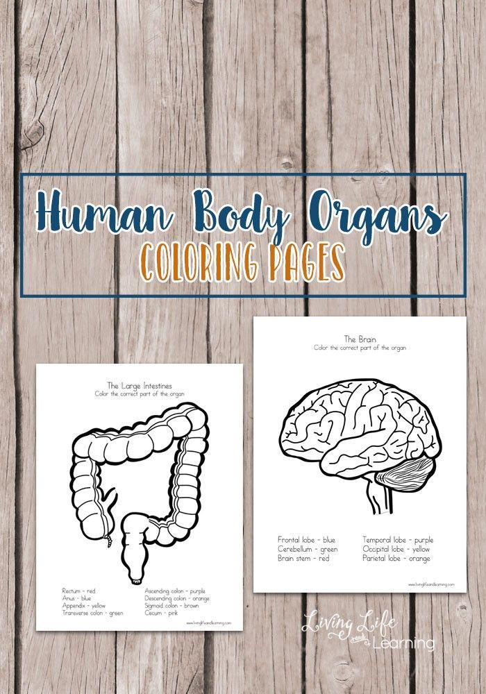 FREE Printable Human Body Organs