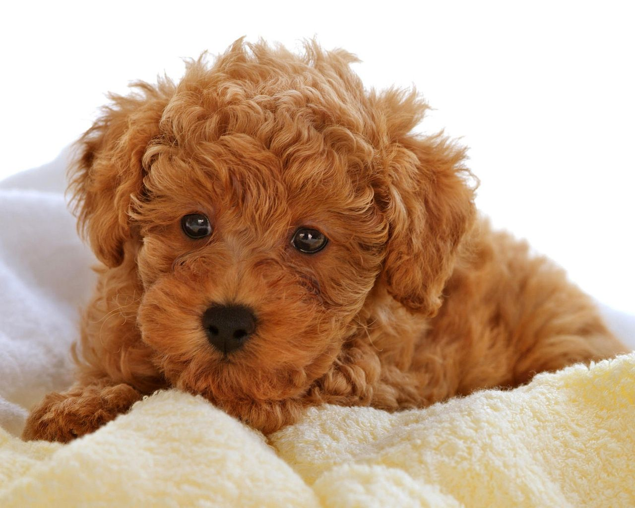 A Ginger Red Poodle Puppy Photo Chien Bebes Animaux Chien Mignon
