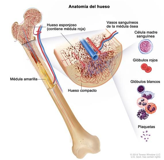 Anatomía del hueso; en la ilustración, se muestra el hueso esponjoso ...