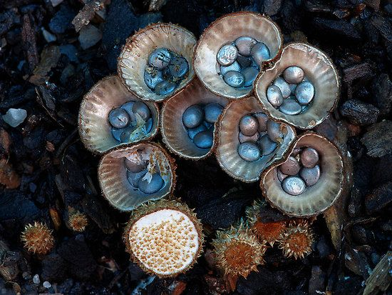 "The birdnest fungi 2 by Steve Axford  This one shows the cups before and after they open. The new cups have a ""mother of pearl"" type sheen to them. Each cup is about 10mm across, so they are easy to miss."