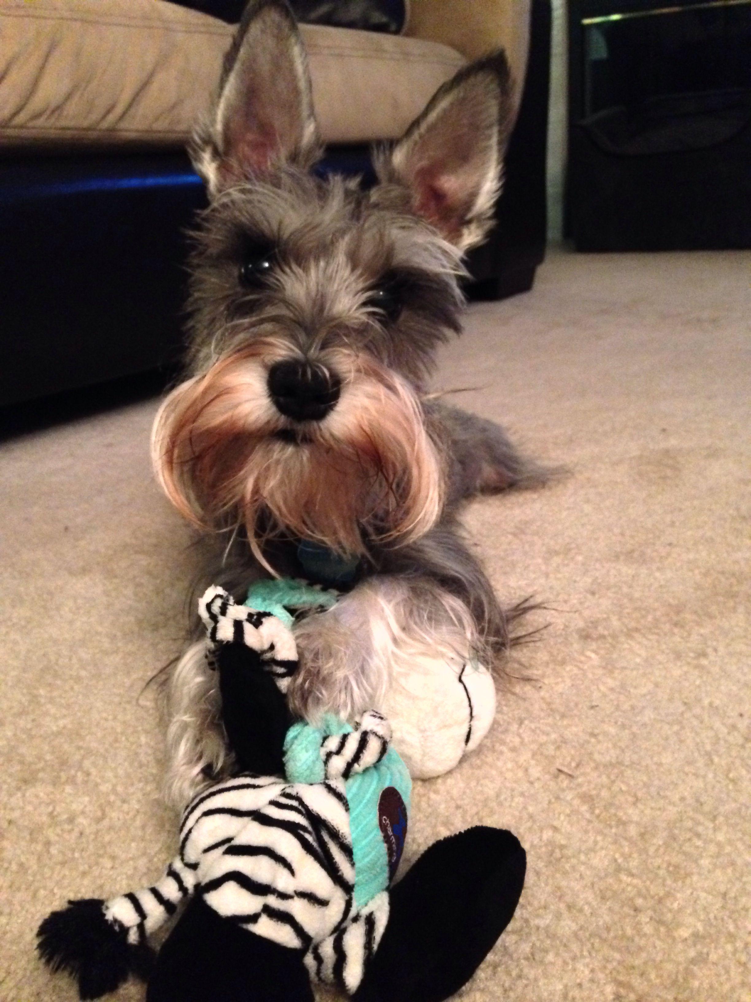 A Miniature Schnauzer His Chew Toy Mini Schnauzer Puppies Baby Dogs Love Pet