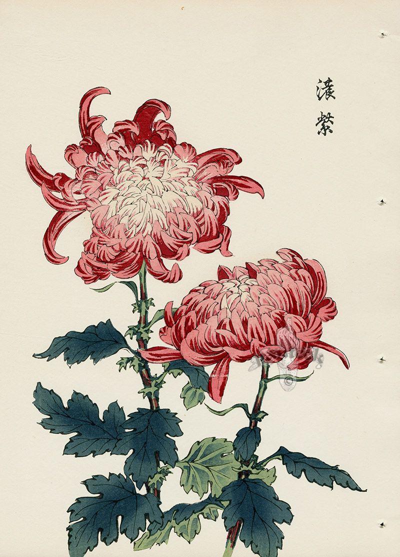 From Art Of The Japanese Chrysanthemum Japanese Chrysanthemum Flower Drawing Japanese Woodblock Printing