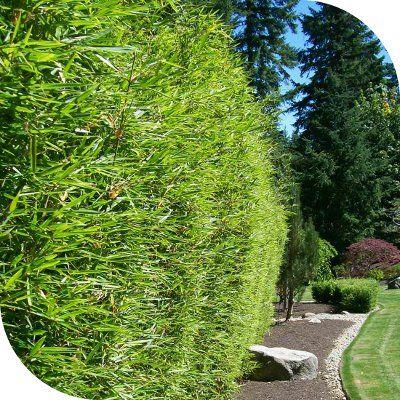 haie bambou fargesia robusta 2 | Jardin idées | Pinterest | Haie ...