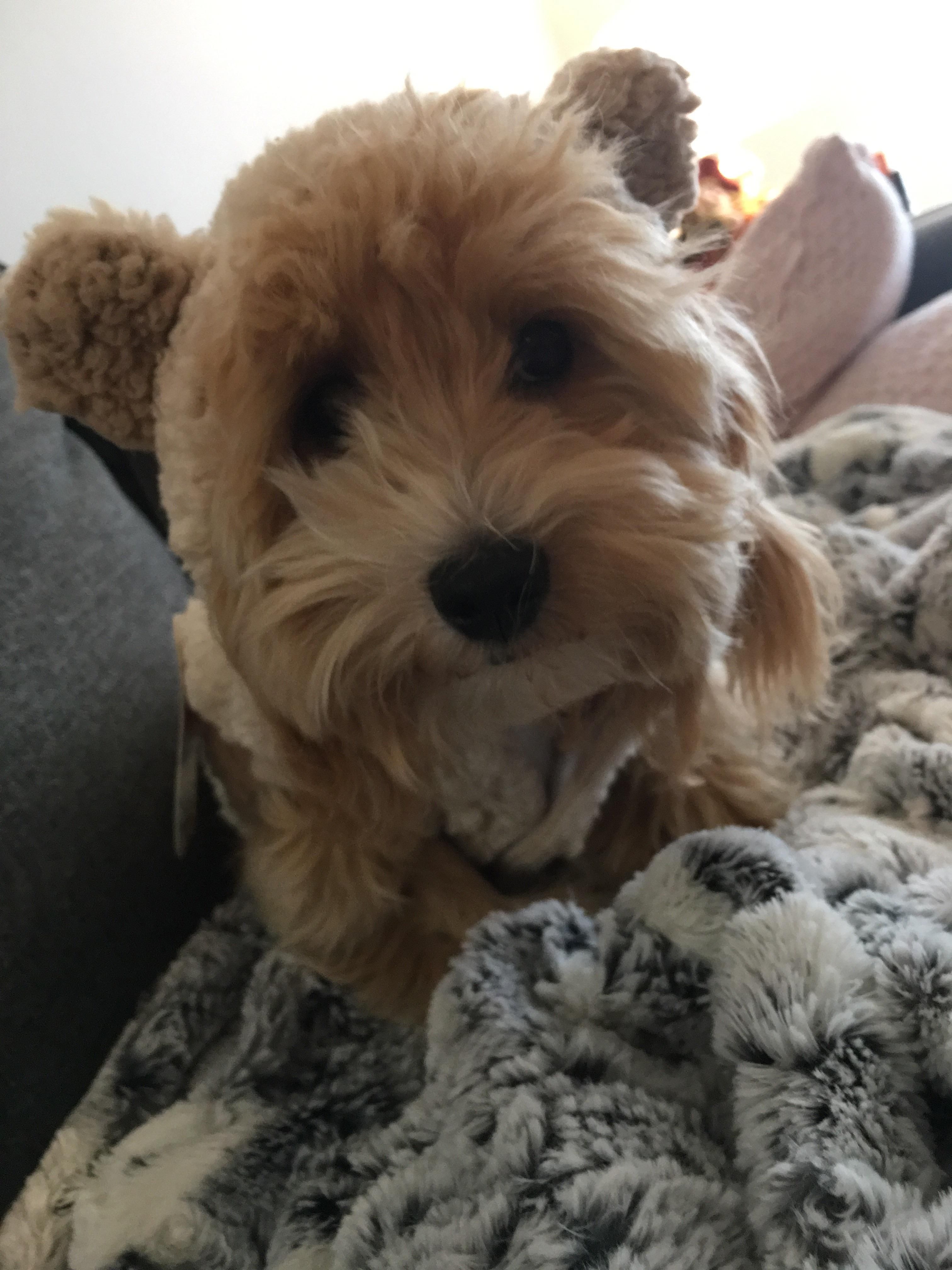 My Little Honey Bear #Dogs #Pets #Dog #Adopt #Love #Cute