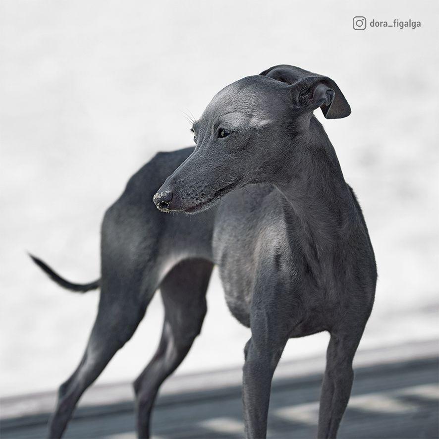 Galgos Are For Lovers Not For Hunters Freethegalgo Animalsrights Animalrescue Noalacaza Stopgalgueros Bastaya G Greyhound Italian Greyhound Dog Lovers