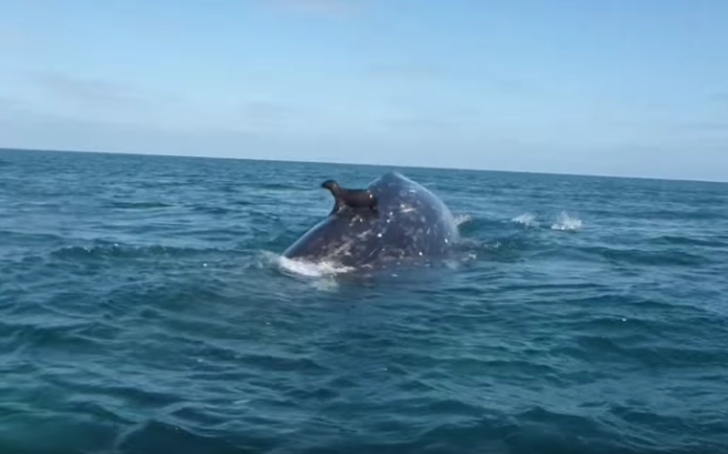 Seal Catches A Ride On A Whale Whale Happy Animals Animals