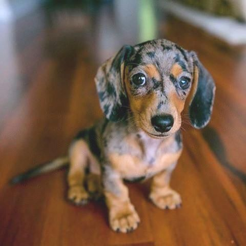 Hope You Are Having A Good Day Dachshund Dog Dapple