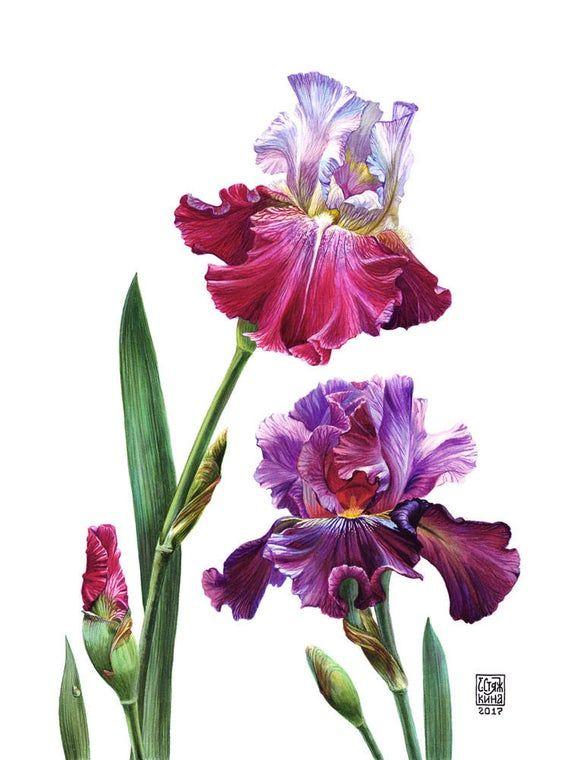 Bearded Iris, Botanical watercolour, Wall Art, Purple Flower, Room Decor, Iris Watercolor, Garden Fl