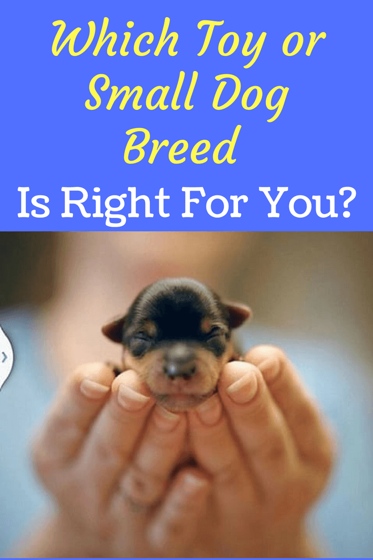 What Dog Breed Is Right For Me A Toy Or Small Dog Toy Dog Breeds Dogs Dog Breeds