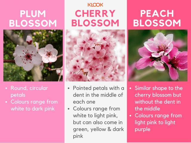 How To Hanami 101 Tips Tricks To Ace Cherry Blossom Season Klook Travel Blog Cherry Blossom Season Hanami Cherry Blossom Festival