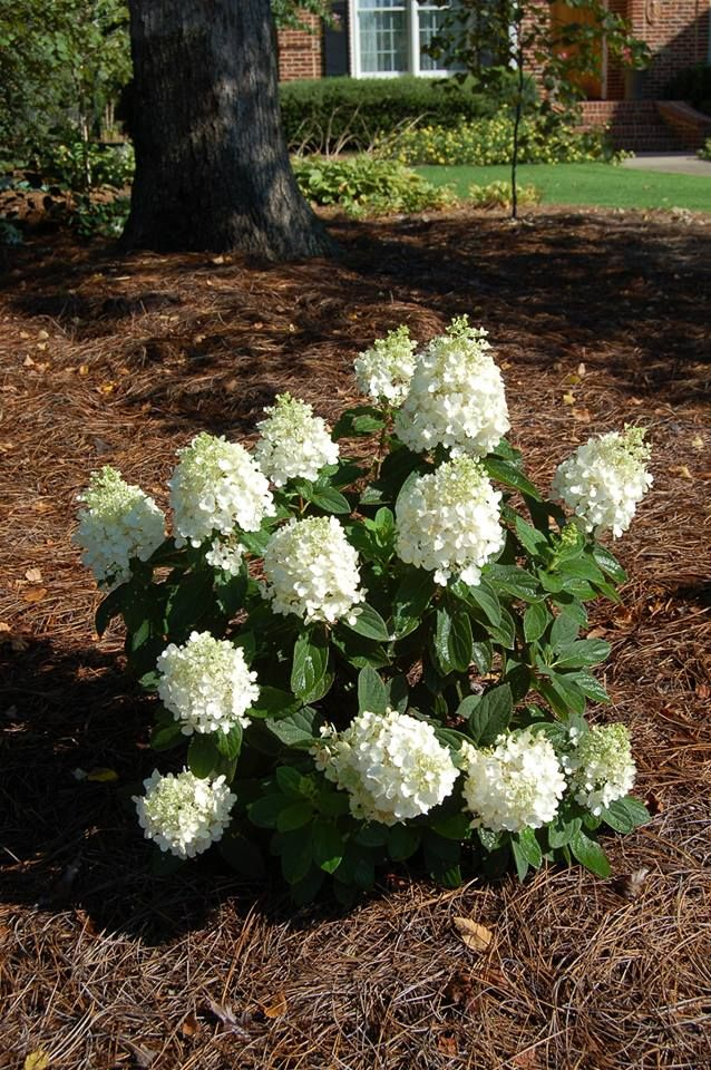 Baby Lace Hydrangea Is A New Addition To The Gardener S Confidence Collection This Dwarf Paniculata Hydrangea Is Cov Plants Landscaping Plants Shade Garden