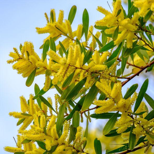 Mimosa Chenille Acacia Longifolia Acacia Plants Mimosa