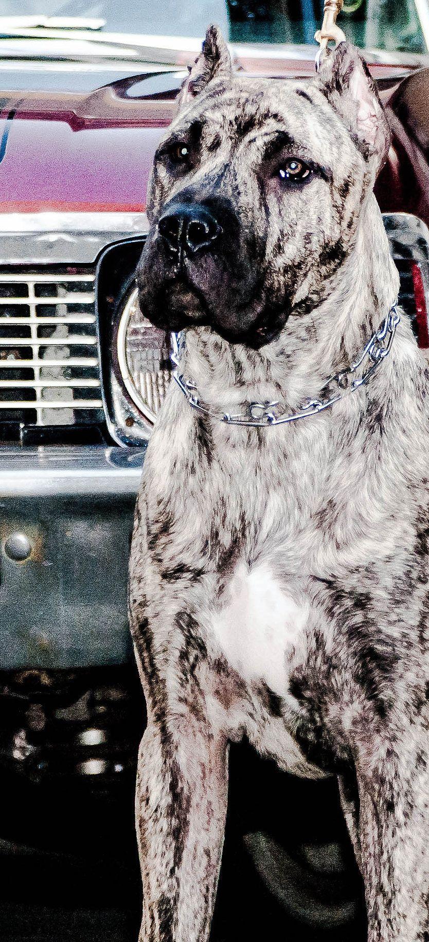 Hijo De Andres De Conquistador Dog Breeds Dogs Corso Dog