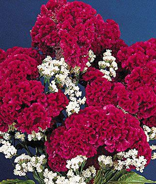 Red Velvet Celosia Seeds And Plants Annual Flower Garden At Burpee Com Annual Flowers Velvet Flowers Flower Garden