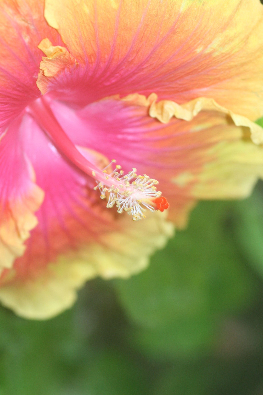 Hibiscus by debgay.deviantart.com