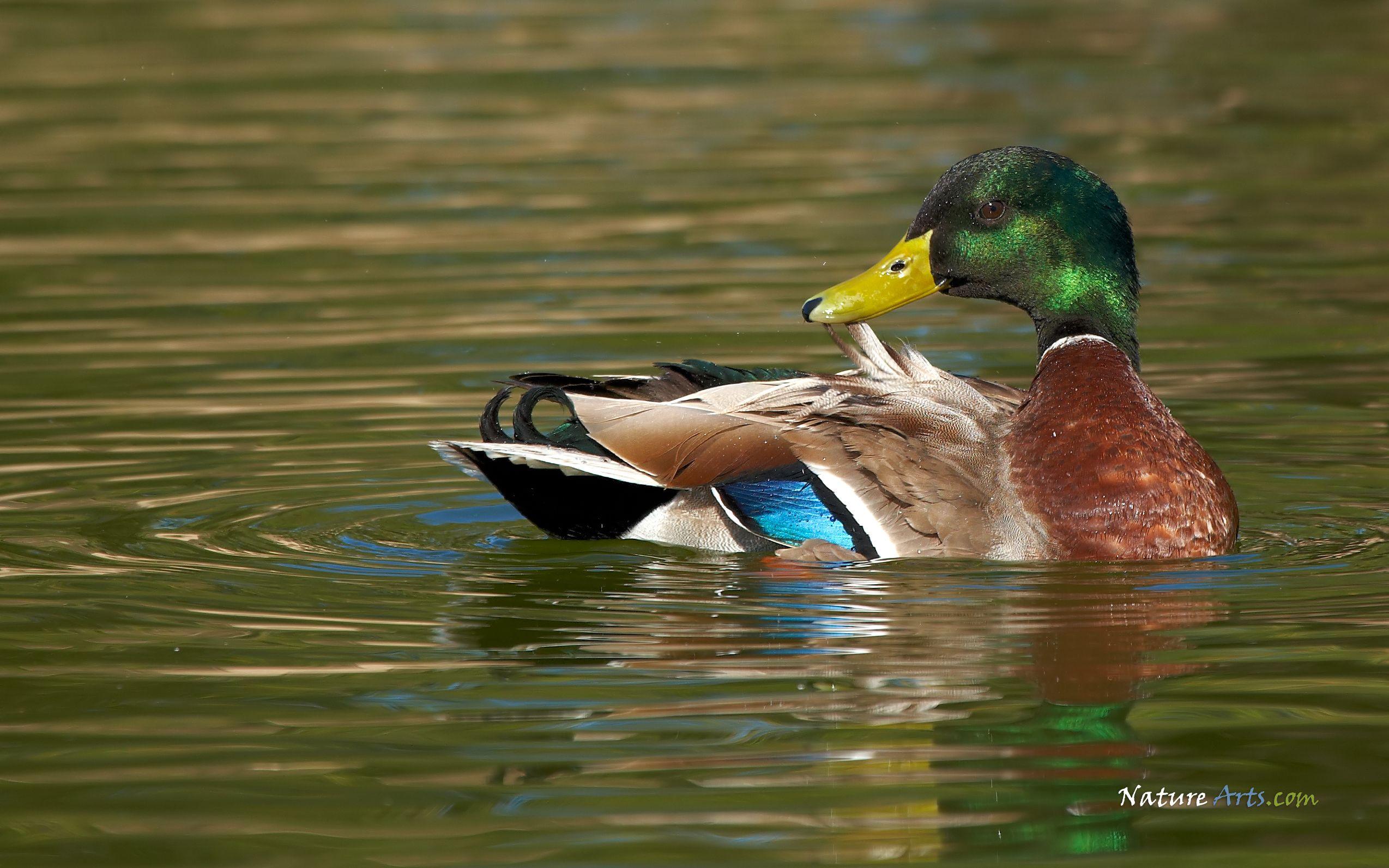 Http Naturearts Com Wallpaper Images Mallard Duck Jpg Duck Wallpaper Wildlife Wallpaper Mallard Duck