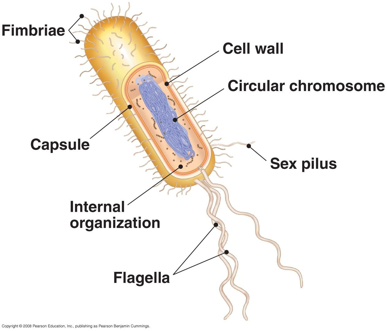 Biology 2108 Cell Diagram Prokaryotic Cell Cell Wall