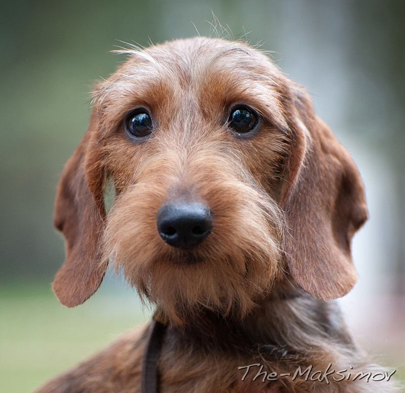Wire Haired Dachshund What A Gorgeous Little Creature With