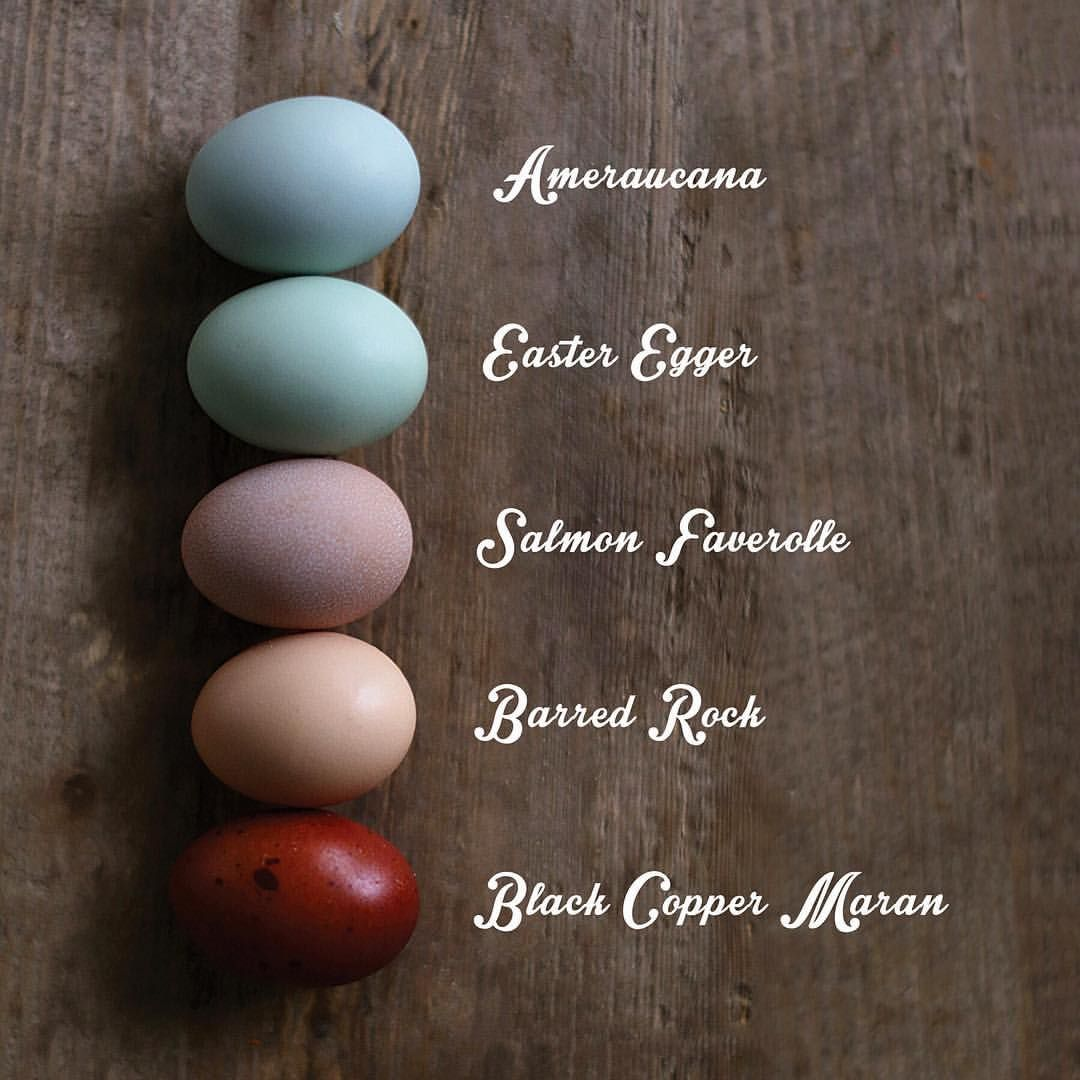 chicken breed u0026 egg color chart the hen house pinterest egg