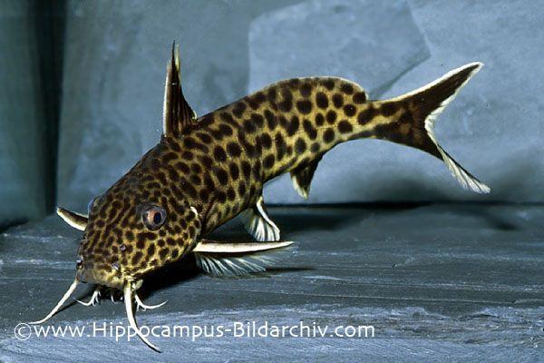 Synodontis Polli Poll S Synodontis Tropical Fish Tropical Fish Aquarium Aquarium Fish