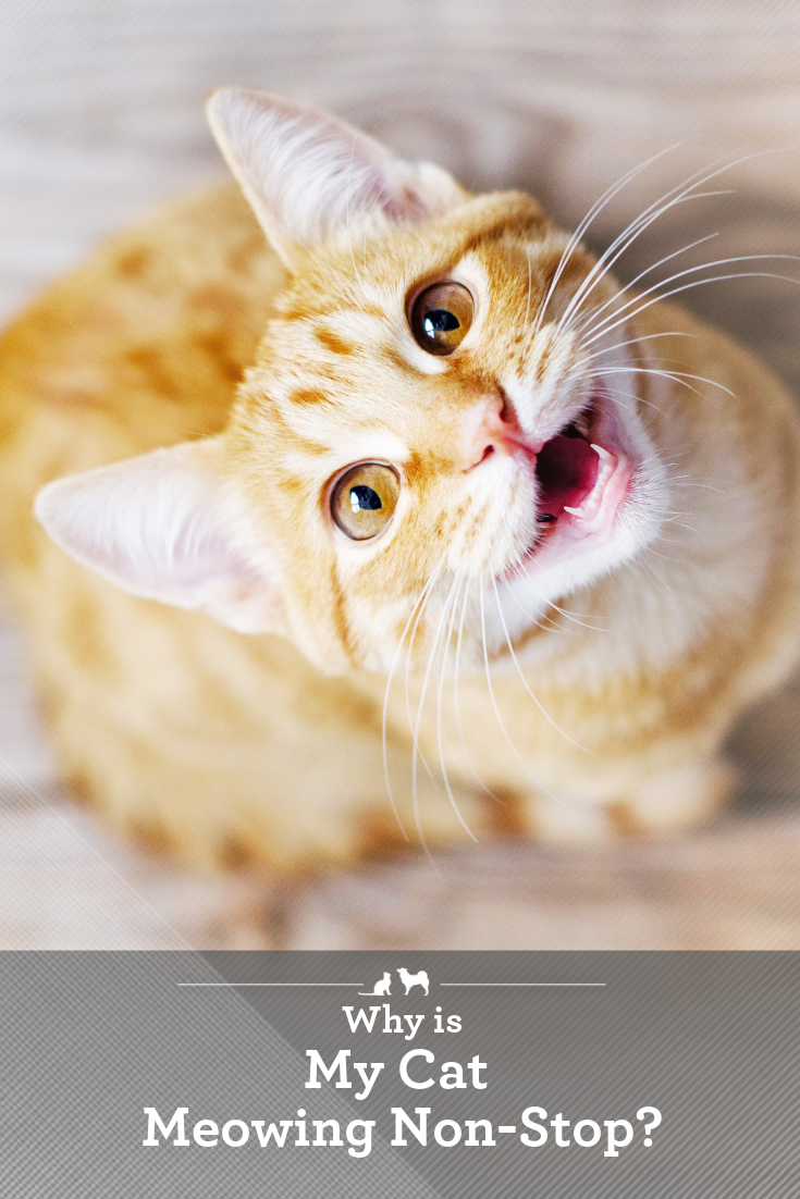 Decode Your Cat S Meows Non Stop Meowing Is A Headache For Kitty Owners Find Out Why Your Kitty Is Meowing And Learn Tips To Reduce H Cat Care Cats Cats Meow