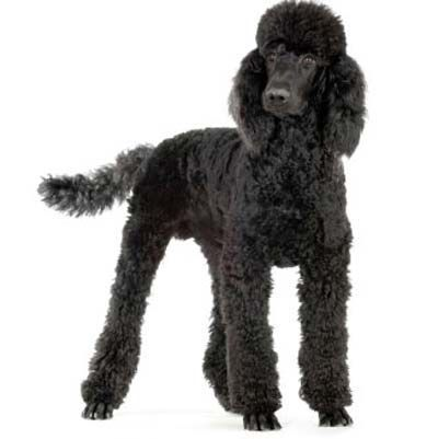 Image Result For Poodle Kennel Clip Dog Breeds Poodle Puppy