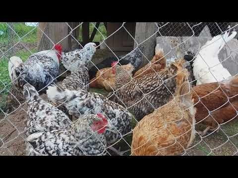 какую породу кур выбрать для яиц