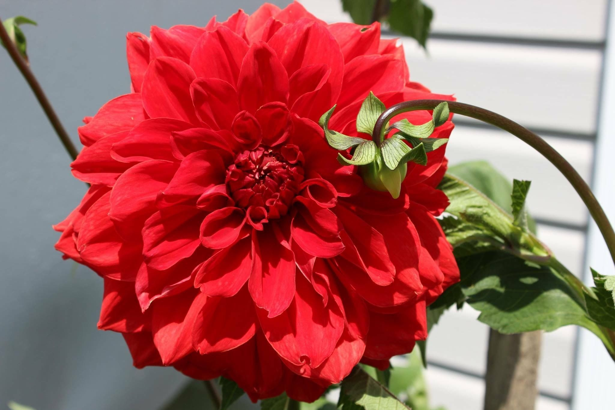 Mamaws big red my dahlias flowers and more pinterest dahlia dahlia flowers mamaws big red izmirmasajfo